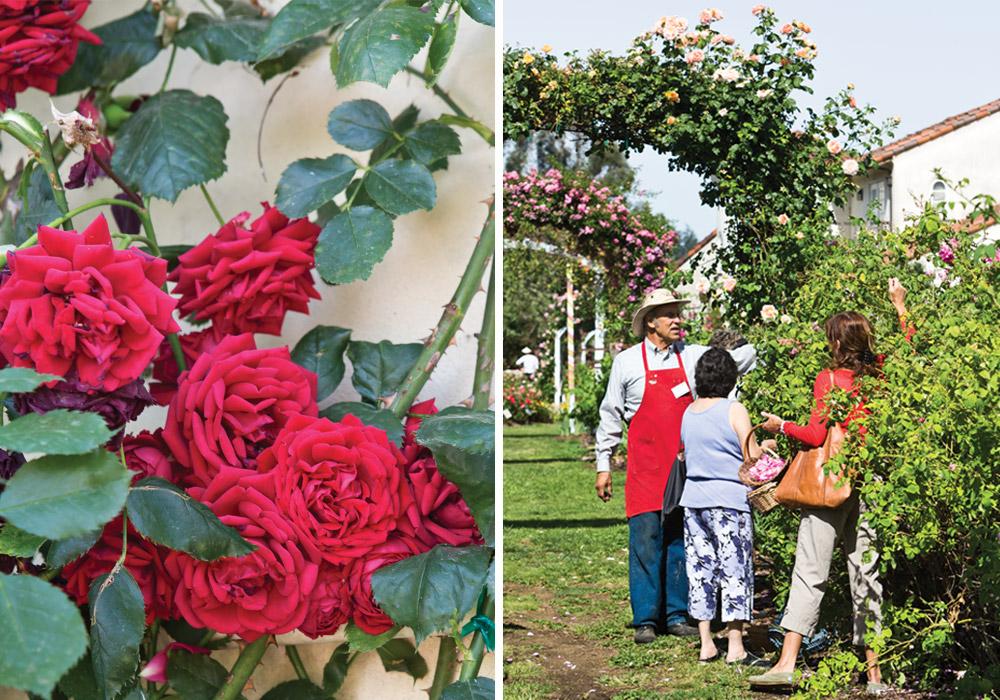 Russian River Rose