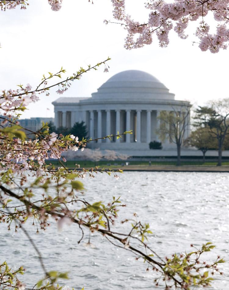 Cherry Blossoms: Spring's Splendor