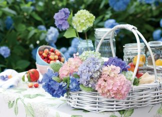 Widely acclaimed for their striking colors and showy blossoms, hydrangeas welcome summer with their signature billowy blooms.