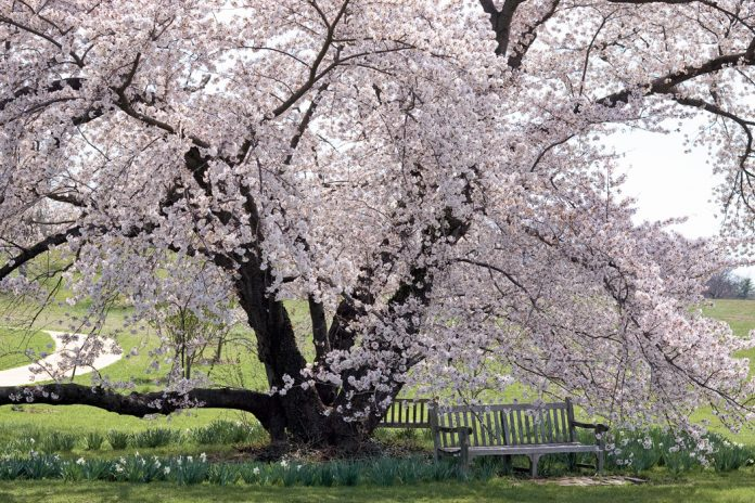 Cherry Blossoms: Spring's Splendor