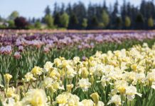For the Love of Irises