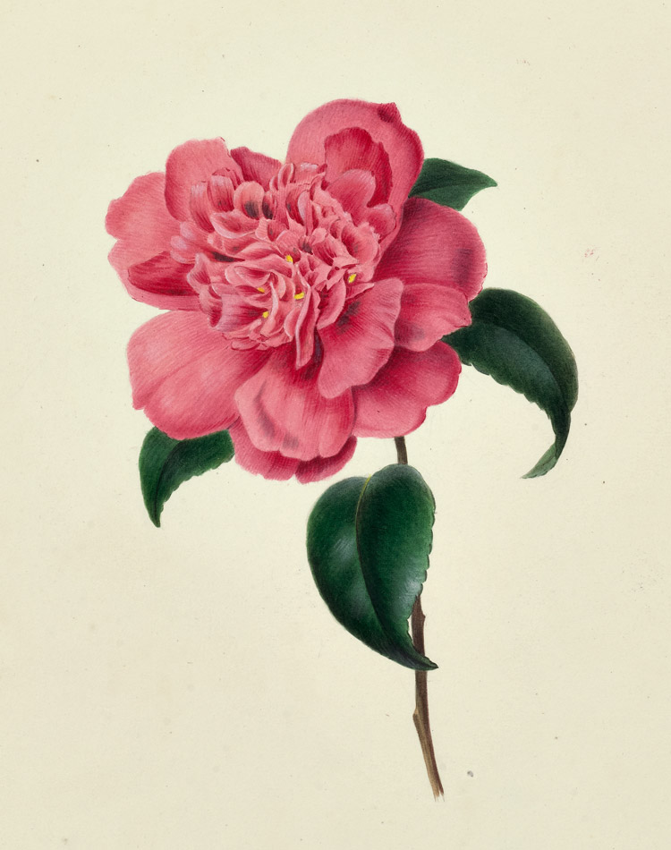 Celebrating the Women of Botanical Art