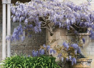 Enchanting Wisteria