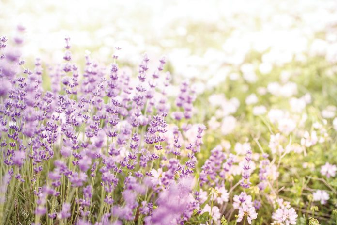 Five Ideas for Incorporating Lavender into Your Day
